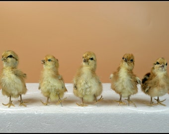 Real taxidermy of 5 chicks,Christmas gift, birthday gift,free shipping