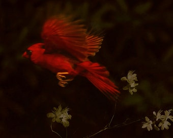 Red male cardinal, flying bird, red bird, cardinal print, cardinal bird art, flying cardinal, bird print, bird, wild bird, brown, red