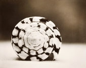 """Seashell Photography - cone shell photo chocolate brown white black sepia modern wall print - 16x20, 11x14, 8x10 Photograph, """"Marbled Cone"""""""