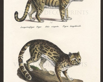 Wild Cat Ocelote Print Original 1827 Engraving by Joseph Brodtmann for H.R.Schinz Hand Coloured Engraving Decorative Natural History Print