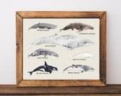 Whale chart art print, nautical home decor, whale species art print, nautical living room art, nautical nursery decor, educational, A-1145