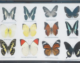 REAL 12 BEAUTIFUL BUTTERFLIES Collection Framed/BF16X