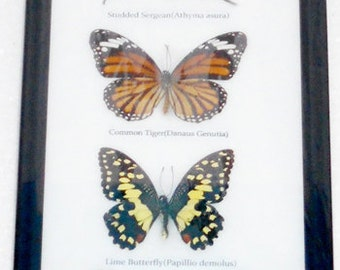 7 Real Butterfly Vertical Collection Taxidermy Frames / BTF07G