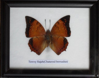 Real BUTTERFLY Collection Taxidermy in Frame / BTF01G