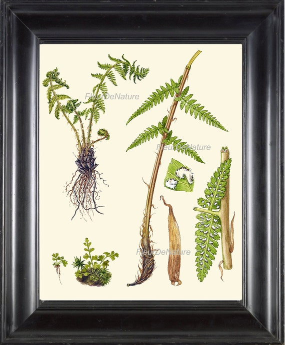 Antique Fern Print Botanical Art 8 based on Antique Illustration Beautiful Green Ferns Forest Nature Natural Science Chart Poster to Frame