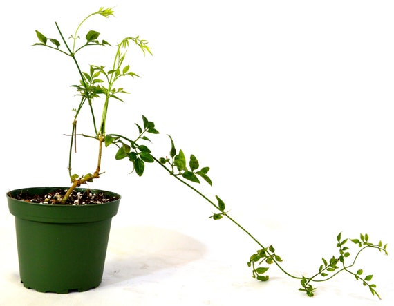 pink plant jasminum polyanthum fragrant 4