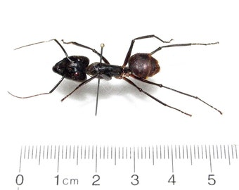 Real Huge Giant Bullet Ant Mounted Pinned