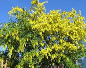 Golden Chain Tree Seeds, Laburnum amagyroides - 25 Seeds