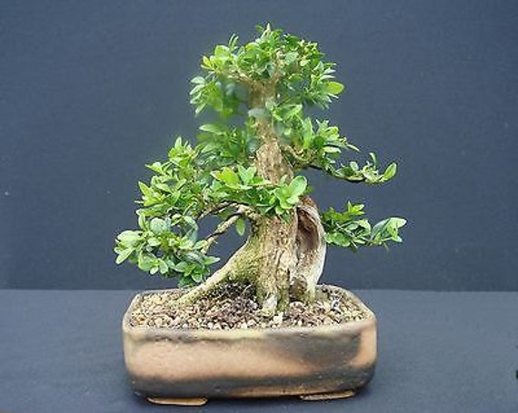 Japanese bonsai tree boxwood buxus sempervirens seeds