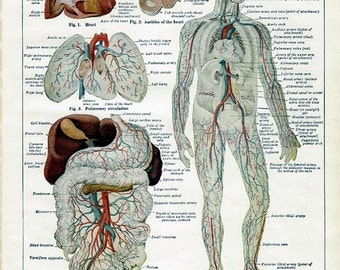 Vintage Page from 1910 Encyclopedia - Anatomy of the Heart and Circulation of the Body