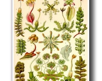 Botanical Art Print, Botanical Poster, Ernst Haeckel Liverwort Illustration, Haeckel Botany Print, Educational Art, Botanical Wall Art
