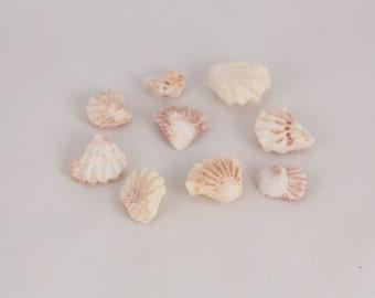 Whole Kitten's Paw Sea Shells (9)