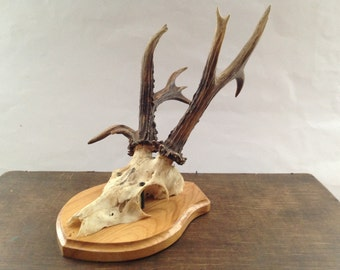 Roe Deer Antler on Wooden Plaque Antlers Wall hanging Woodland gift for him  Trophy with skull No1