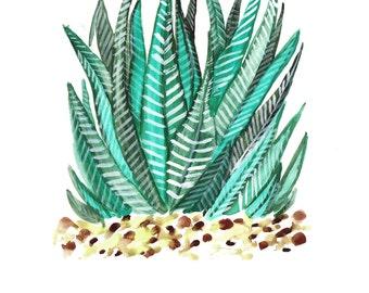 Zebra Succulent