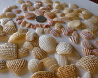Fan and Clam Shell Shards Maui Beach Finds 100 Rose-Peach-Cream pcs.