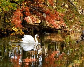 Autumn Photograph - Fall Foliage - Nature Art - Swan - Reflections - Trees - Swan Lake - Wonderland - Landscape - Nature Photograph