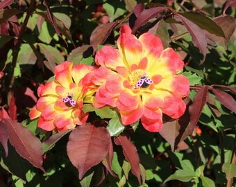 Red and Yellow Zinnia Barette with Pink Ladybugs