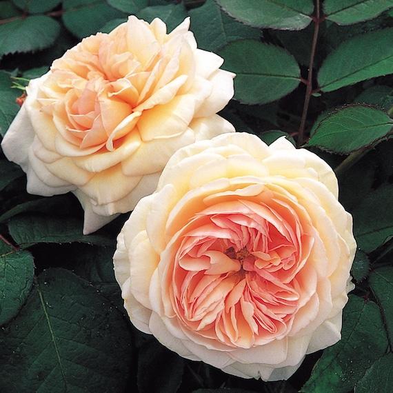 englische rose crown princess margareta auswinter rose seeds 376 yellow rose roses seeds. Black Bedroom Furniture Sets. Home Design Ideas