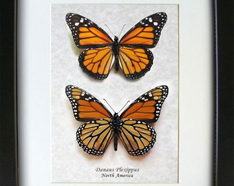 Monarch Danaus Plexippus Real Butterflies Set In Museum Quality Shadowbox
