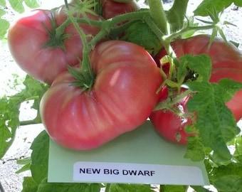 Tomato Plant, New Big Dwarf