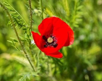 Poppy Photography, Nature Photography, Red Poppy Art, Landscape Photo, Natural Home Decor, Poppy Photography Photo Prints