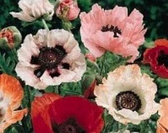 Poppy-  Pizzicato- 500 Seeds