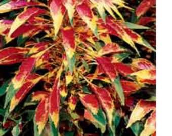 Amaranthus Tricolor Perfecta Joseph's Coat * 50 Seeds