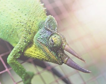 Chameleon Color Photo Print { reptile, green, yellow, bumpy, crawl, cage, creep, spike, wall art, macro, nature & fine art photography }