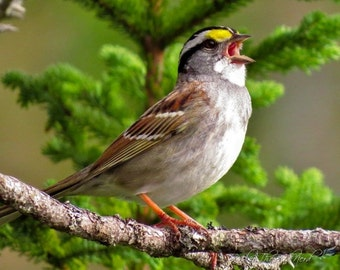 Bird Photography - Sparrow Wall Decor, Bird Singing Decor, White-throated sparrow,Vibrant Spring Color -Fine Art Photo, Nature Picture - 075