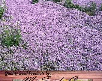 10,000 x (Reg) CREEPING THYME Herb Seeds - Thymus Serpyllum ~ Butterflies love it so will You - ZONES 4 - 9