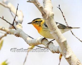 Blackburnian Warbler | Bird Photography | Nature Photo | Spring Migrant | Orange Black White | Tropical Songbird | Fire Throat | Bird Print