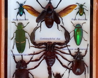 9 Insects in Wood Box * Display * Beetles * Bugs * Taxidermy  * Entomology * Framed Insects  * Palamnaersus * Cyrtotrachelus dux * Saga * 3