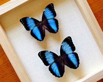 Real Morpho Achilles  Pair - Framed - Taxidermy - Collectibles