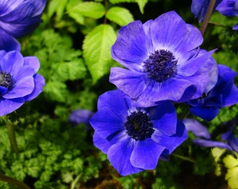 Flower Seeds - Blue Poppy