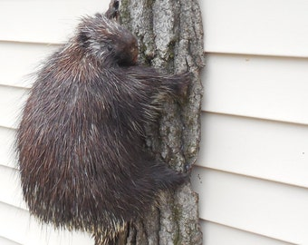 Porcupine Taxidermy Specimen Real Mount Quills Teeth Bark Excel Quality