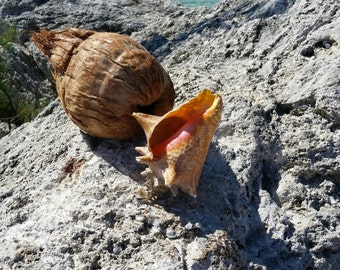 Free Port Coconut and Conch Shell