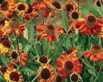 Helenium Autumnale Flower Seeds / Sneezeweed/ Perennial  50+