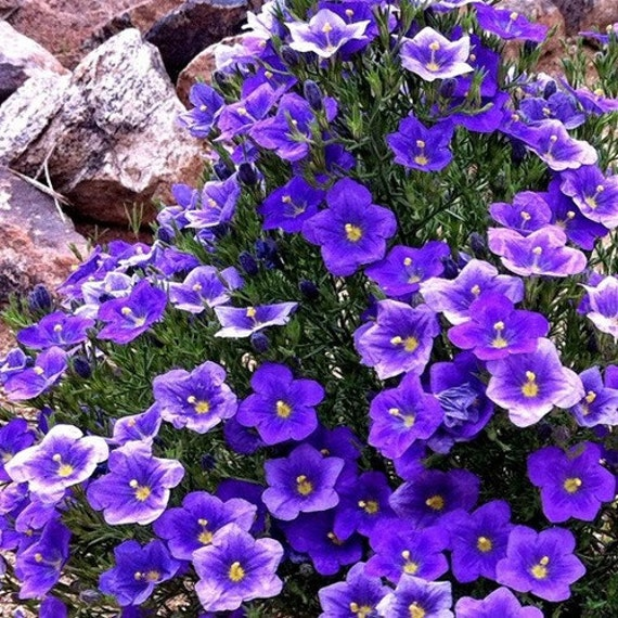 Cup Flower Purple Robe Ground Cover Seeds Nierembergia