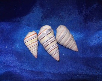 The Candy Cane Shell from an Old Collection