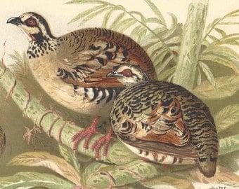 1915 Antique Bird Print Arboricola Brunneipectus Lithograph