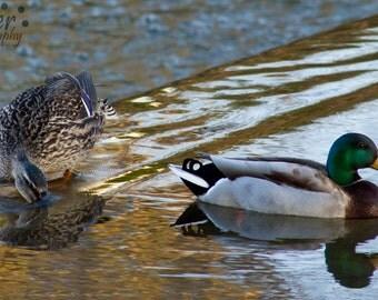 Ducks, Mallards, Nature Photography, Spring Photography