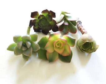 "5 Succulent Cuttings (2"" ~ 4"")"