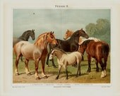 1889 Antique HORSE print, gorgeous Chromolithograph of horses, different breeds, white, brown, and black in the field, original antique