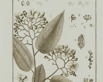 1793 Large Antique BOTANICAL engraving, metrosideros, Panckoucke. Lamarck botany.