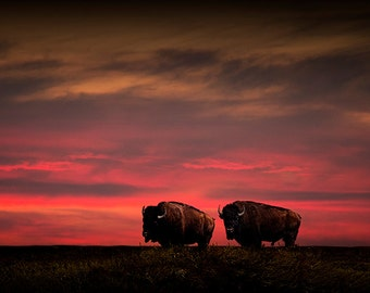 Two American Buffalo Bison at Sunset on the Prairie No. 3777 A Fine Art Western Landscape Photograph