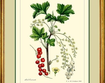 RED CURRANT - Vintage Botanical print reproduction -  280