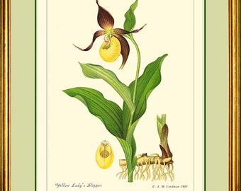 YELLOW LADY'S SLIPPER - Vintage Botanical print reproduction 419