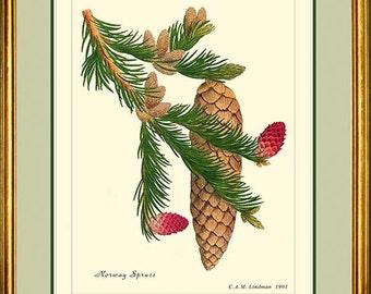 NORWAY SPRUCE - Vintage Botanical print reproduction - 495