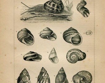 1889 Land Snails Antique Print, Natural History Chart, Home Decor, Wall Hanging, Black and White Engraving