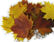 Natural real yellow, red, brown dried pressed autumn maple leaves. Lot of 25 units. Botanical florist material for your arts, wedding decor.